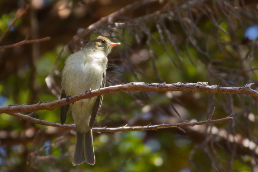 Mountain Elaenia perched