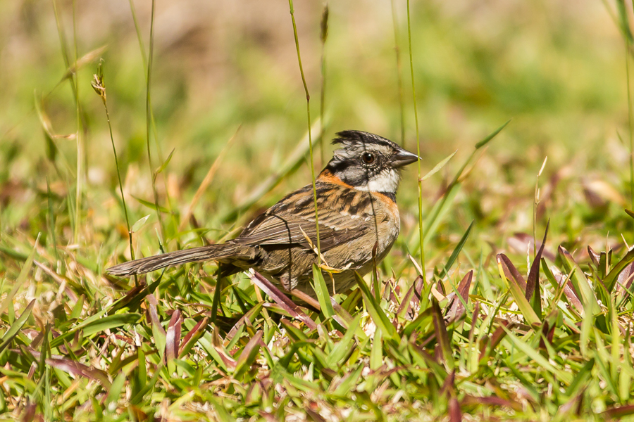 Rufous-collared Sparrow, Zonotrichia capensis in grass