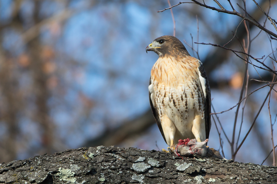 Red-tailed Hawk with dead mouse
